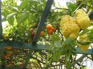 Ornges & Lemons E