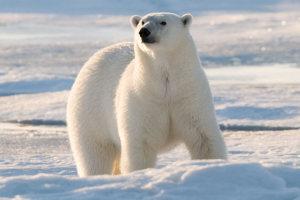 polar-bear-story-1
